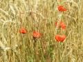 Mohnblumen im Feld