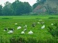 Reet gedeckter Hof mit Enten und Gänsen